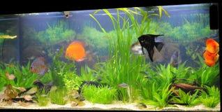 Aquarium - espèce exotique de poissons Image libre de droits