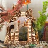 Aquarium, Fisch schwimmen im Hintergrund der dekorativen Blockierung und der Algen, Stockbild