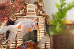 Aquarium, Fisch schwimmen im Hintergrund der dekorativen Blockierung und der Algen, Stockfoto