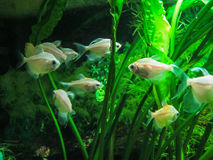 Aquarium fish. Aquarium fish — ornamental fish that are kept in aquariums. The first mention of artificial breeding in China dated to 1500 BC For the most Stock Image