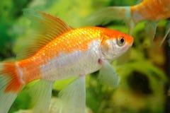 Aquarium fish. In the background of aquarium plants Stock Photo