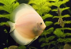 Aquarium fish. Big fish and a few little floats in an aquarium Royalty Free Stock Images