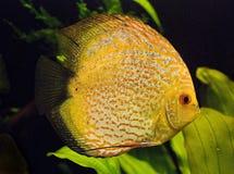 Aquarium fish. Large fish float in an aquarium Royalty Free Stock Photos