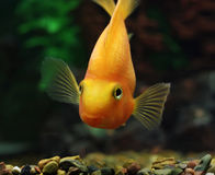 Aquarium fish. Yellow on a green background Royalty Free Stock Photography