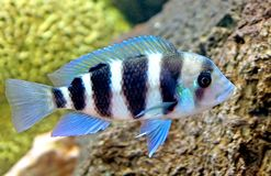 Aquarium fish 13 Royalty Free Stock Photography