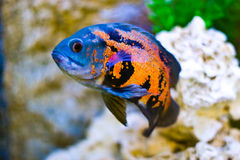 Free Aquarium Fish Royalty Free Stock Photography - 14248577