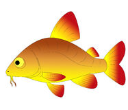 Aquarium fish. Bright and colorful, beautiful aquarium fish Stock Photography