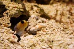 Aquarium fish. Close-up of a fish hiding in the sand underwater Stock Image