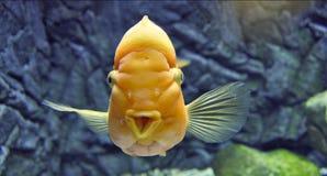 Aquarium fish. Rare yellow aquarium Ellioti fish Royalty Free Stock Photos