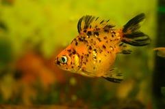 Aquarium fish. Mottled orange fish was photographed at the side of the aquarium Stock Photo