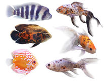 Aquarium fish. On white background (isolated Stock Photography