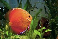 Aquarium fish. Aquarium flat fish in multiple colors Royalty Free Stock Photo