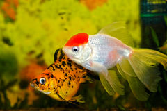 Aquarium fish_2. Two fish swim in a home aquarium, in the foreground - the goldfish Stock Photography