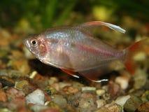 Aquarium fish. Hyphessobrycon rosaceus - male Royalty Free Stock Photography