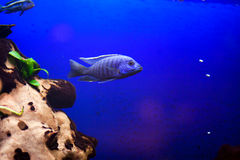 Aquarium fish Stock Photo