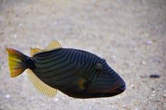 Aquarium fish Stock Image