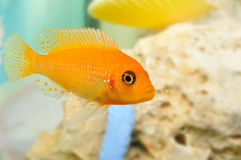 Aquarium fish Royalty Free Stock Photo