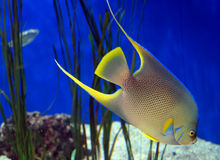 Aquarium fish. A happy little fish photographed under water in Florida stock photography