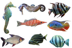 Aquarium Fish. Collection isolated on white background Royalty Free Stock Image