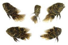 aquarium fish Στοκ φωτογραφίες με δικαίωμα ελεύθερης χρήσης