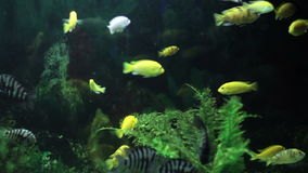 Aquarium fish. Colored aquarium fish swim surrounded by algae stock footage