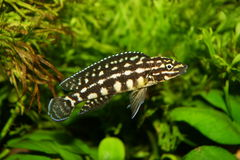 Aquarium fish Royalty Free Stock Images