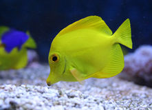 Aquarium fish. Yellow aquarium fish. Yellow tang royalty free stock photography