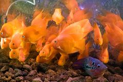 Aquarium fish. Beautiful aquarium fishes swimming underwater Royalty Free Stock Photos