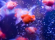 Aquarium fish. Beautiful aquarium fishes swimming underwater Stock Photos