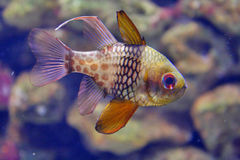 Aquarium fish. Close-up of a small aquarium fish Stock Images