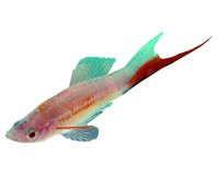 Aquarium fish. Hybrid Carries a sword red Xiphophorus hellerii royalty free stock photo