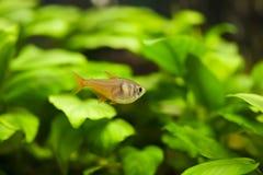 Aquarium fish in the algae Stock Image