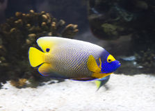 Aquarium fish-angel blue head. Stock Images