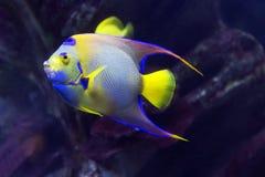 Aquarium fish angel-isabelita. Royalty Free Stock Photos