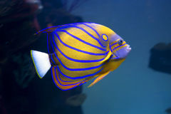 Aquarium fish-angel. Stock Photos