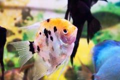 Aquarium fish Angelfish Royalty Free Stock Photography