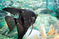 Aquarium fish Angelfish Stock Image