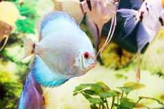 Aquarium fish (Angelfish) close up Royalty Free Stock Photos
