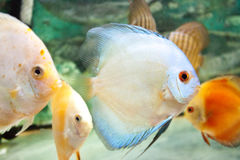 Aquarium fish (Angelfish) close up Stock Images