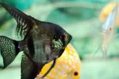 Aquarium fish (Angelfish) close up Royalty Free Stock Images