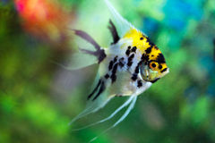Aquarium fish (Angelfish) close up Royalty Free Stock Image