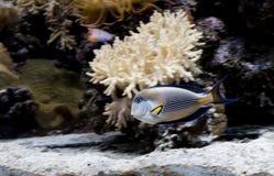 Aquarium fish Arabian surgeon . Stock Photos