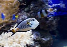 Aquarium fish Arabian surgeon . Stock Photography