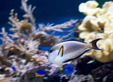 Aquarium fish Arabian surgeon . Royalty Free Stock Images