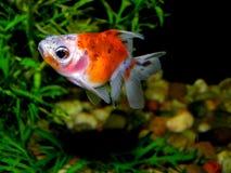 Aquarium fish from Asia. Goldfish Stock Photos