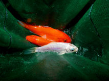 Aquarium fish from Asia. Goldfish. Goldfish from Asia: central Asia and China and Japan. Introduced throughout the world. Asian form of the goldfish. Several royalty free stock photo