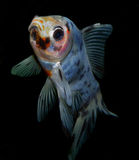 Aquarium fish from Asia. Goldfish. Goldfish from Asia: central Asia and China and Japan. Introduced throughout the world. Asian form of the goldfish. Several royalty free stock image