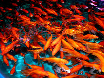 Aquarium fish from Asia. Goldfish. Goldfish from Asia: central Asia and China and Japan. Introduced throughout the world. Asian form of the goldfish. Several stock photography