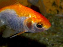 Aquarium fish from Asia. Goldfish Royalty Free Stock Photo