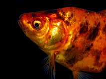 Aquarium fish from Asia. Goldfish. Goldfish from Asia: central Asia and China and Japan. Introduced throughout the world. Asian form of the goldfish. Several stock photos